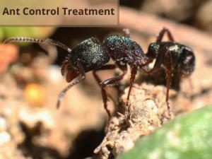 Ant Control Magill Treatment